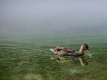 Mallard Hen with water droplet on bill. Royalty Free Stock Photo