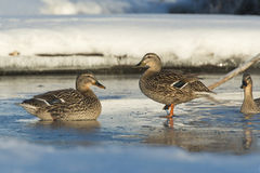 Mallard Hens. On a small semi frozen pond in the winter Royalty Free Stock Images