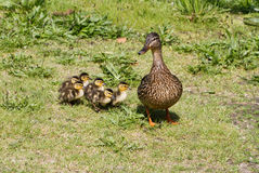 Mallard. And her ducklings close up shot Royalty Free Stock Image