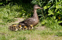 Mallard. And her ducklings close up shot Stock Photo