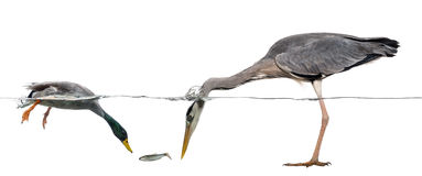 Mallard and heron diving to catch a fish, isolated Stock Photos