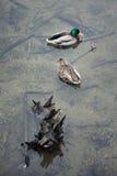 Mallard i dzikie kaczki unosi się równomiernie Obraz Stock
