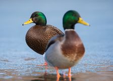 Mallard ibrido x Duck With Regular Mallard nero americano fotografia stock