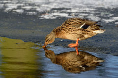 Mallard on ice Stock Photo
