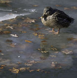 Mallard on ice. Female mallard standing in icy pond water Royalty Free Stock Photos