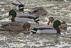Mallard on Ice. Flock of mallard ducks resting on an icy pond Stock Photography