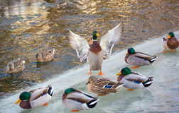 Mallard on ice spreads wings. A male mallard duck spreads it's wings surrounded by other ducks as if giving a speech Stock Photography