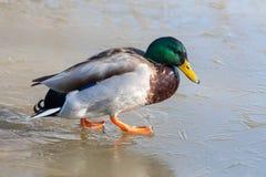 Mallard on ice. At Warnham Nature Reserve Royalty Free Stock Photo