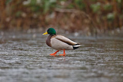 Mallard on icy pond Stock Photography