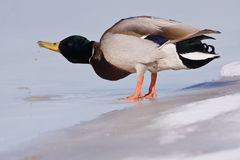 A Mallard on an icy river drinking Stock Photography