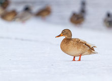A Mallard on an icy river Stock Image