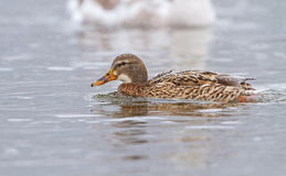 A Mallard on an icy river Stock Photos