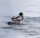 A Mallard on an icy river Royalty Free Stock Photo