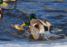 A Mallard on an icy river Stock Photography