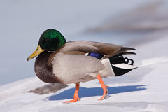 A Mallard on an icy river Stock Photos