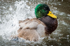 Mallard III Photos stock