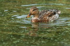 Mallard. Intersex female mallard swimming in the open water with water dribbling from her nose Royalty Free Stock Photos