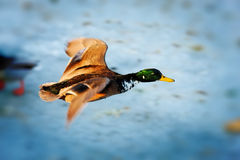 Mallard (isolated) Stock Images