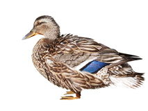 Mallard isolated on white, Anas platyrhynchos Stock Photos
