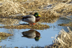 Mallard and its reflection. A male Mallard is perched on a dirt clump and casts a relection in the water Stock Photography