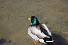 Mallard jest powszechnie uznanymi i obfitymi gatunkami kaczka w Północna Ameryka Męski ` s osobliwie i Zdjęcie Royalty Free