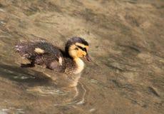 Mallard kaczątko (Anas platyrhynchos) Zdjęcie Stock
