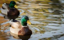 Mallard kaczek odsadzka Zdjęcie Stock