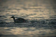 Mallard kaczka Bierze Daleko Od jeziora Przy zmierzchem Zdjęcie Stock