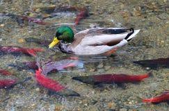 Mallard kaczka i Kokanee łosoś Fotografia Royalty Free