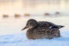 Mallard kaczka na śnieżnym brzeg rzeki obraz stock
