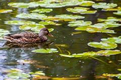 Mallard kaczka na jeziorze zdjęcie stock