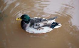 Mallard kaczka na jeziorze po powodzi z kopii przestrzenią Obrazy Royalty Free