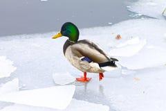 Mallard kaczka na lodzie, zima Zdjęcia Stock