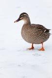 Mallard kaczka na zamarzniętym jeziorze Fotografia Royalty Free