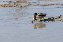 Mallard kaczka ono zmaga się żyć wewnątrz mniej i brudzić wodę zdjęcie royalty free