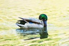 Mallard kaczka pływa w jeziorze, piękno w wiosny naturze Zdjęcia Stock