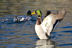 Mallard kaczka Rozciąga Swój skrzydła na wodzie Obrazy Royalty Free