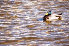 Mallard kaczka w jeziorze Przyrody tło z kopii przestrzenią Fotografia Royalty Free