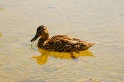 Mallard kaczka w studzieniczne jeziorze zdjęcia stock
