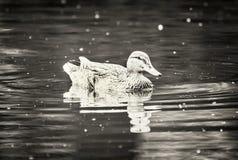 Mallard kaczka w wodzie, czarny i biały fotografia stock