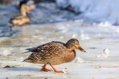 Mallard kaczka w zimie obrazy stock