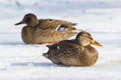 Mallard kaczka w zimie zdjęcie stock