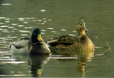 mallard kaczki zdjęcie stock