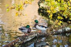 Mallard kaczki Obrazy Stock