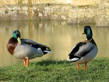 mallard kaczki Obraz Stock