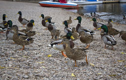 mallard kaczki Fotografia Royalty Free