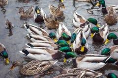 Mallard kaczki chaosu wspinaczki karmowy kryzys Obraz Stock