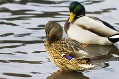 Mallard kaczki dopłynięcie w jeziorze, kierdel Zdjęcie Royalty Free