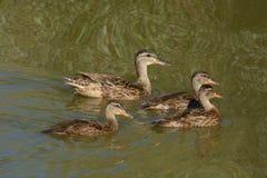 Mallard kaczki kaczątka i karmazynka Obraz Royalty Free