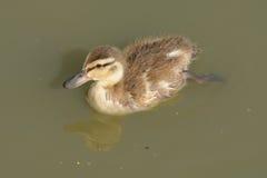 Mallard kaczki kaczątko Zdjęcia Stock